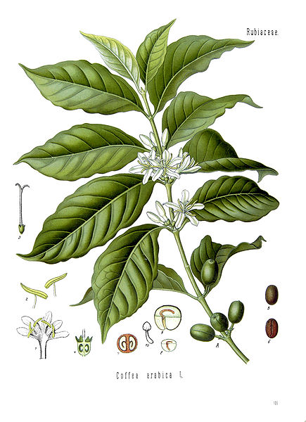 coffee plant and bean graphic