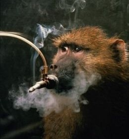 animal smoking test