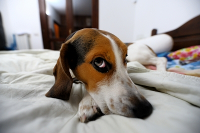 watchful beagle