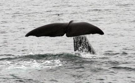 1655319 431 sperm whale
