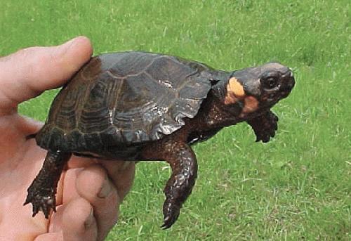 3508-img-2 bog turtle