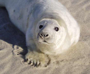 5a1 Sable Island grey seal pup