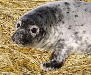5a2 molted Sable Island grey seal