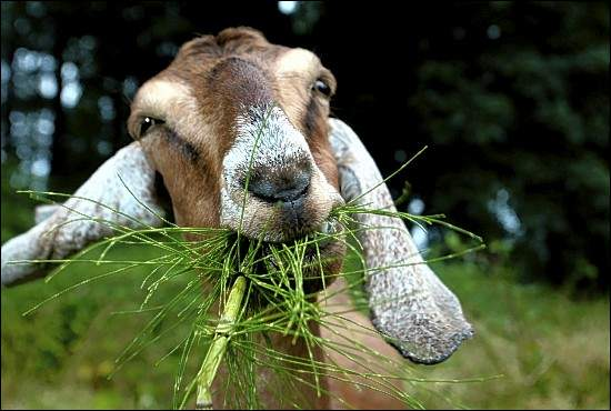 goat eating  and saving turtle habitat
