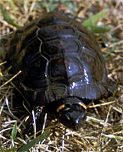 Bog_Turtle