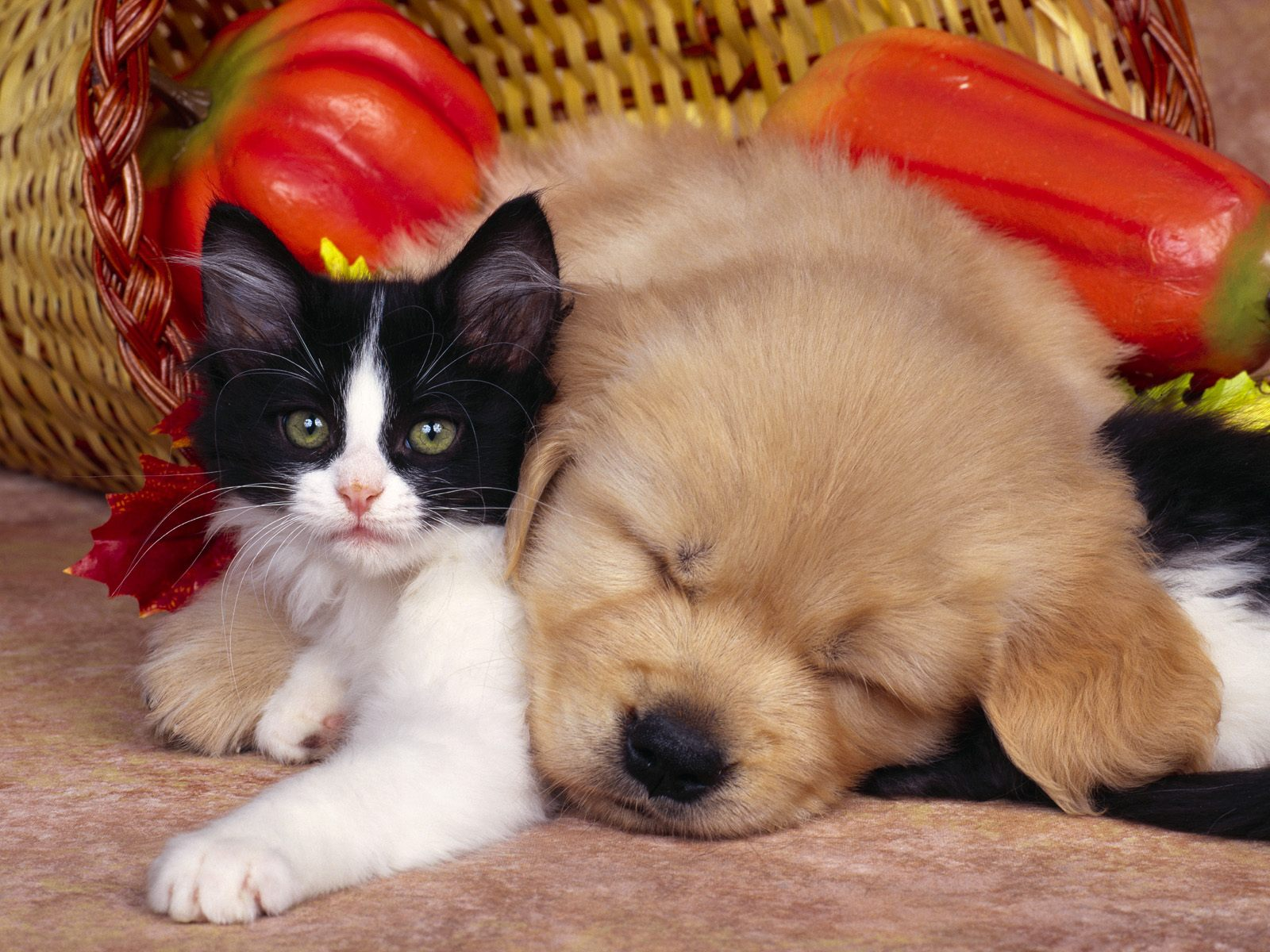 Cute-Dog-And_Cat