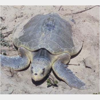 Kemp&#039;s Ridley sea turtle USFWS t